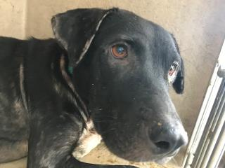 LABRADOR RETRIEVER Female  Adult  Dog #A499529#  Animal Care Services (San Antonio) - click here to view larger pic