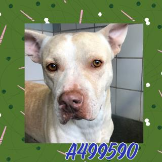 Mix-Bred LABRADOR RETRIEVER Male  Adult  Dog #A499580#  Animal Care Services (San Antonio) - click here to view larger pic