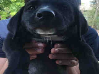 Mix-Bred LABRADOR RETRIEVER Female  Young  Puppy #A499585#  Animal Care Services (San Antonio) - click here to view larger pic
