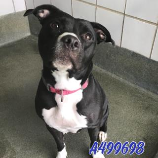 Mix-Bred AMERICAN STAFFORDSHIRE TERRIER Female  Adult  Dog #A499698#  Animal Care Services (San Antonio) - click here to view larger pic