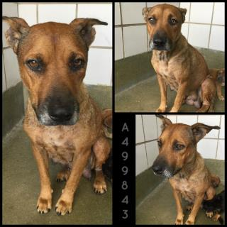 Mix-Bred SHEPHERD Female  Adult  Dog #A499843#  Animal Care Services (San Antonio) - click here to view larger pic