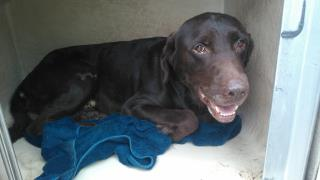 Mix-Bred LABRADOR RETRIEVER Male  Adult  Dog #A499972#  Animal Care Services (San Antonio) - click here to view larger pic