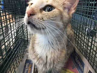 Mix-Bred DOMESTIC SHORTHAIR Female  Adult  Cat #A499992#  Animal Care Services (San Antonio) - click here to view larger pic