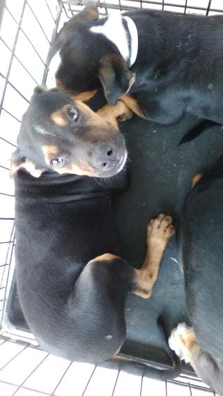 Mix-Bred ROTTWEILER Male  Young  Puppy #A500055#  Animal Care Services (San Antonio) - click here to view larger pic