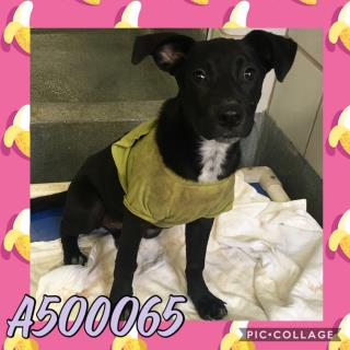 Mix-Bred LABRADOR RETRIEVER Female  Young  Puppy #A500065#  Animal Care Services (San Antonio) - click here to view larger pic