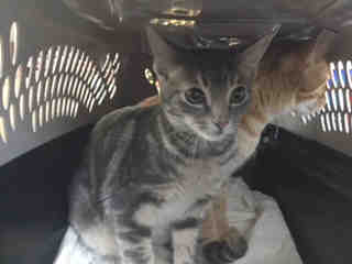 Mix-Bred DOMESTIC SHORTHAIR Female  Young  Kitten #A500087#  Animal Care Services (San Antonio) - click here to view larger pic