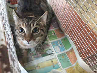 Mix-Bred DOMESTIC SHORTHAIR Female  Young  Kitten #A500088#  Animal Care Services (San Antonio) - click here to view larger pic