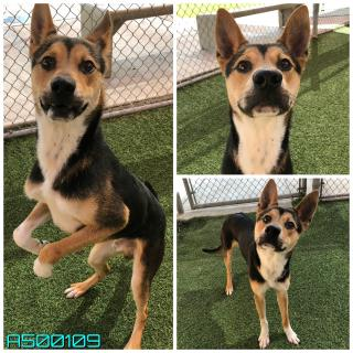 SHEPHERD Male  Young  Puppy #A500109#  Animal Care Services (San Antonio) - click here to view larger pic