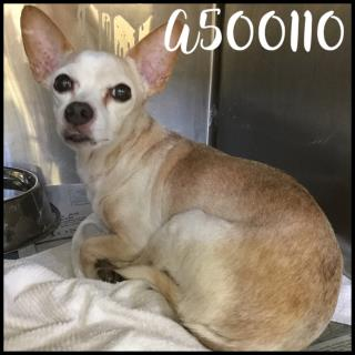 Mix-Bred RAT TERRIER Male  Older  Dog #A500110#  Animal Care Services (San Antonio) - click here to view larger pic