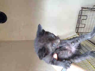 Mix-Bred DOMESTIC SHORTHAIR Female  Young  Kitten #A500113#  Animal Care Services (San Antonio) - click here to view larger pic