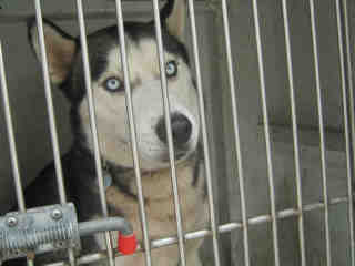 Mix-Bred SIBERIAN HUSKY Male  Adult  Dog #A500118#  Animal Care Services (San Antonio) - click here to view larger pic