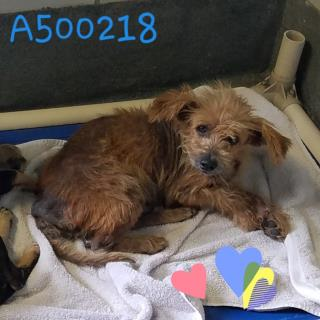 Mix-Bred YORKSHIRE TERRIER Male  Adult  Dog #A500218#  Animal Care Services (San Antonio) - click here to view larger pic