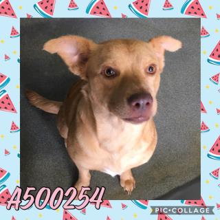 Mix-Bred LABRADOR RETRIEVER Female  Adult  Dog #A500254#  Animal Care Services (San Antonio) - click here to view larger pic