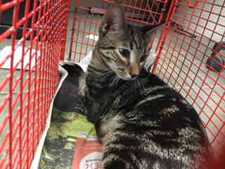 Mix-Bred DOMESTIC SHORTHAIR Male  Young  Kitten #A500292#  Animal Care Services (San Antonio) - click here to view larger pic