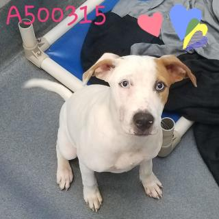 Mix-Bred TERRIER Female  Young  Puppy #A500315#  Animal Care Services (San Antonio) - click here to view larger pic