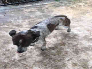 AUSTRALIAN CATTLE DOG Female  Adult  Dog #A500385#  Animal Care Services (San Antonio) - click here to view larger pic