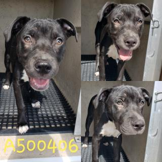 Mix-Bred AMERICAN STAFFORDSHIRE TERRIER Male  Young  Puppy #A500406#  Animal Care Services (San Antonio) - click here to view larger pic