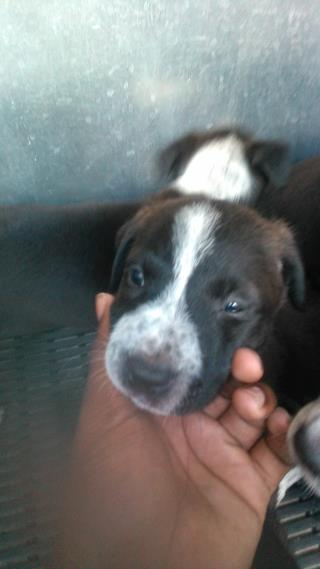 Mix-Bred LABRADOR RETRIEVER Male  Young  Puppy #A500421#  Animal Care Services (San Antonio) - click here to view larger pic