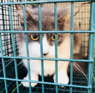 Mix-Bred DOMESTIC MEDIUMHAIR Cat #A500430#  Animal Care Services (San Antonio) - click here to view larger pic