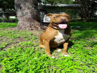 Mix-Bred AMERICAN STAFFORDSHIRE TERRIER Female  Adult  Dog #A500453#  Animal Care Services (San Antonio) - click here to view larger pic