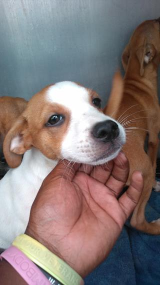 Mix-Bred TERRIER Female  Young  Puppy #A500463#  Animal Care Services (San Antonio) - click here to view larger pic