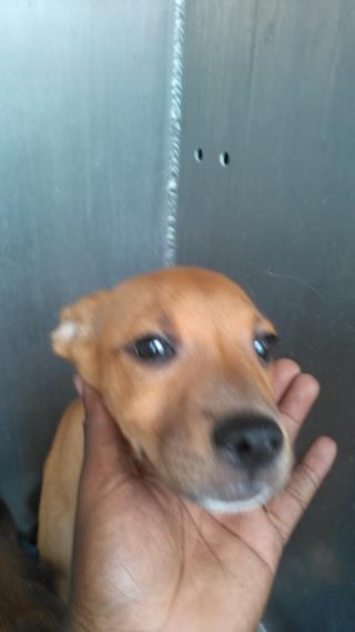 Mix-Bred TERRIER Female  Young  Puppy #A500465#  Animal Care Services (San Antonio) - click here to view larger pic
