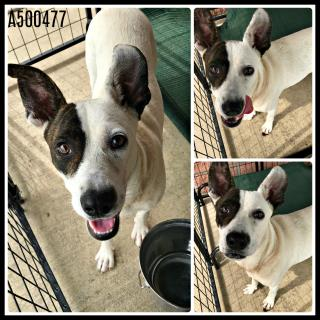 Mix-Bred POINTER Female  Adult  Dog #A500477#  Animal Care Services (San Antonio) - click here to view larger pic