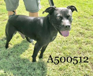 Mix-Bred AMERICAN STAFFORDSHIRE TERRIER Male  Adult  Dog #A500512#  Animal Care Services (San Antonio) - click here to view larger pic