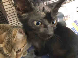 Mix-Bred DOMESTIC SHORTHAIR Male  Young  Kitten #A500532#  Animal Care Services (San Antonio) - click here to view larger pic