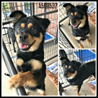 Mix-Bred SHEPHERD Female  Young  Puppy #A500537#  Animal Care Services (San Antonio) - click here to view larger pic