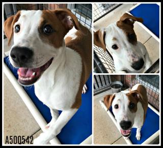 Mix-Bred POINTER Female  Young  Puppy #A500542#  Animal Care Services (San Antonio) - click here to view larger pic