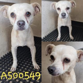 Mix-Bred CHIHUAHUA - SMOOTH COATED Male  Adult  Dog #A500549#  Animal Care Services (San Antonio) - click here to view larger pic