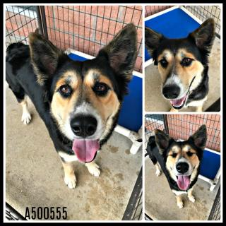 Mix-Bred SHEPHERD Female  Young  Puppy #A500555#  Animal Care Services (San Antonio) - click here to view larger pic