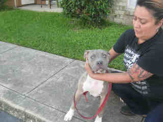 Mix-Bred AMERICAN STAFFORDSHIRE TERRIER Female  Young  Puppy #A500560#  Animal Care Services (San Antonio) - click here to view larger pic