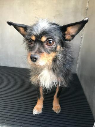 Mix-Bred CHIHUAHUA - LONG HAIRED Male  Adult  Dog #A500601#  Animal Care Services (San Antonio) - click here to view larger pic