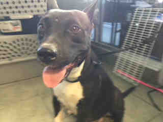 Mix-Bred AMERICAN STAFFORDSHIRE TERRIER Female  Adult  Dog #A500638#  Animal Care Services (San Antonio) - click here to view larger pic