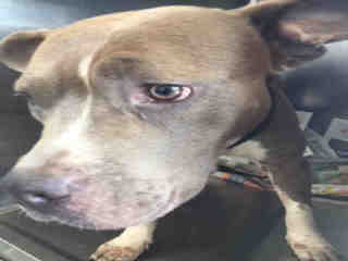 PIT BULL TERRIER Female  Adult  Dog #A500643#  Animal Care Services (San Antonio) - click here to view larger pic