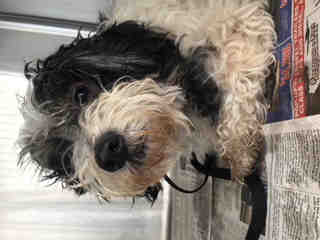Mix-Bred SHIH TZU Female  Adult  Dog #A500652#  Animal Care Services (San Antonio) - click here to view larger pic