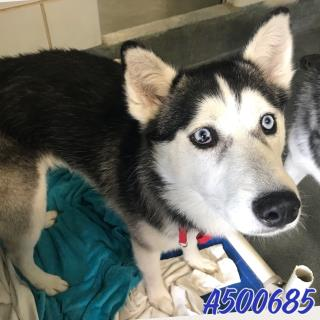 SIBERIAN HUSKY Female  Young  Puppy #A500685#  Animal Care Services (San Antonio) - click here to view larger pic