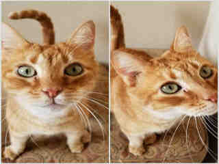 Mix-Bred DOMESTIC SHORTHAIR Male  Older  Cat #A500700#  Animal Care Services (San Antonio) - click here to view larger pic