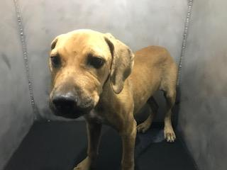 Mix-Bred LABRADOR RETRIEVER Female  Young  Puppy #A500733#  Animal Care Services (San Antonio) - click here to view larger pic