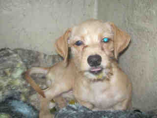 Mix-Bred FOX TERRIER - WIREHAIRED Female  Young  Puppy #A500734#  Animal Care Services (San Antonio) - click here to view larger pic