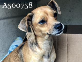 Mix-Bred CHIHUAHUA - SMOOTH COATED Female  Adult  Dog #A500758#  Animal Care Services (San Antonio) - click here to view larger pic
