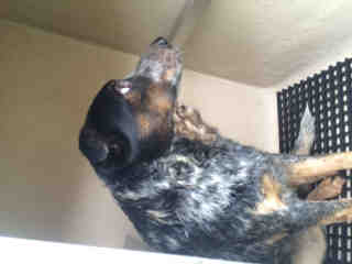 AUSTRALIAN CATTLE DOG Male  Adult  Dog #A500759#  Animal Care Services (San Antonio) - click here to view larger pic