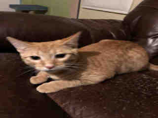 Mix-Bred DOMESTIC SHORTHAIR Male  Young  Kitten #A500762#  Animal Care Services (San Antonio) - click here to view larger pic