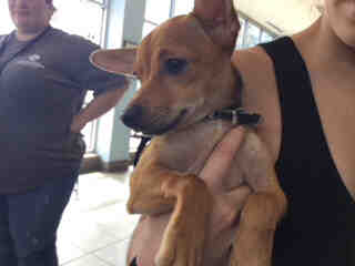 CHIHUAHUA - SMOOTH COATED Male  Young  Puppy #A500806#  Animal Care Services (San Antonio) - click here to view larger pic
