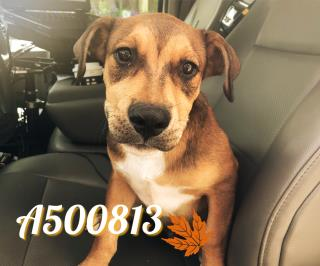 Mix-Bred LABRADOR RETRIEVER Male  Young  Puppy #A500813#  Animal Care Services (San Antonio) - click here to view larger pic