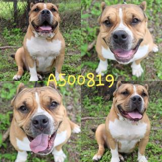 AMERICAN BULLDOG Female  Adult  Dog #A500819#  Animal Care Services (San Antonio) - click here to view larger pic