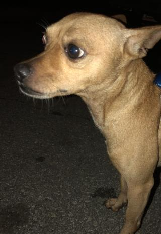 Mix-Bred CHIHUAHUA - SMOOTH COATED Male  Adult  Dog #A500859#  Animal Care Services (San Antonio) - click here to view larger pic