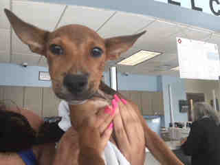Mix-Bred TERRIER Female  Young  Puppy #A500881#  Animal Care Services (San Antonio) - click here to view larger pic
